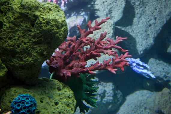 Korallenfake im Poema del Mar