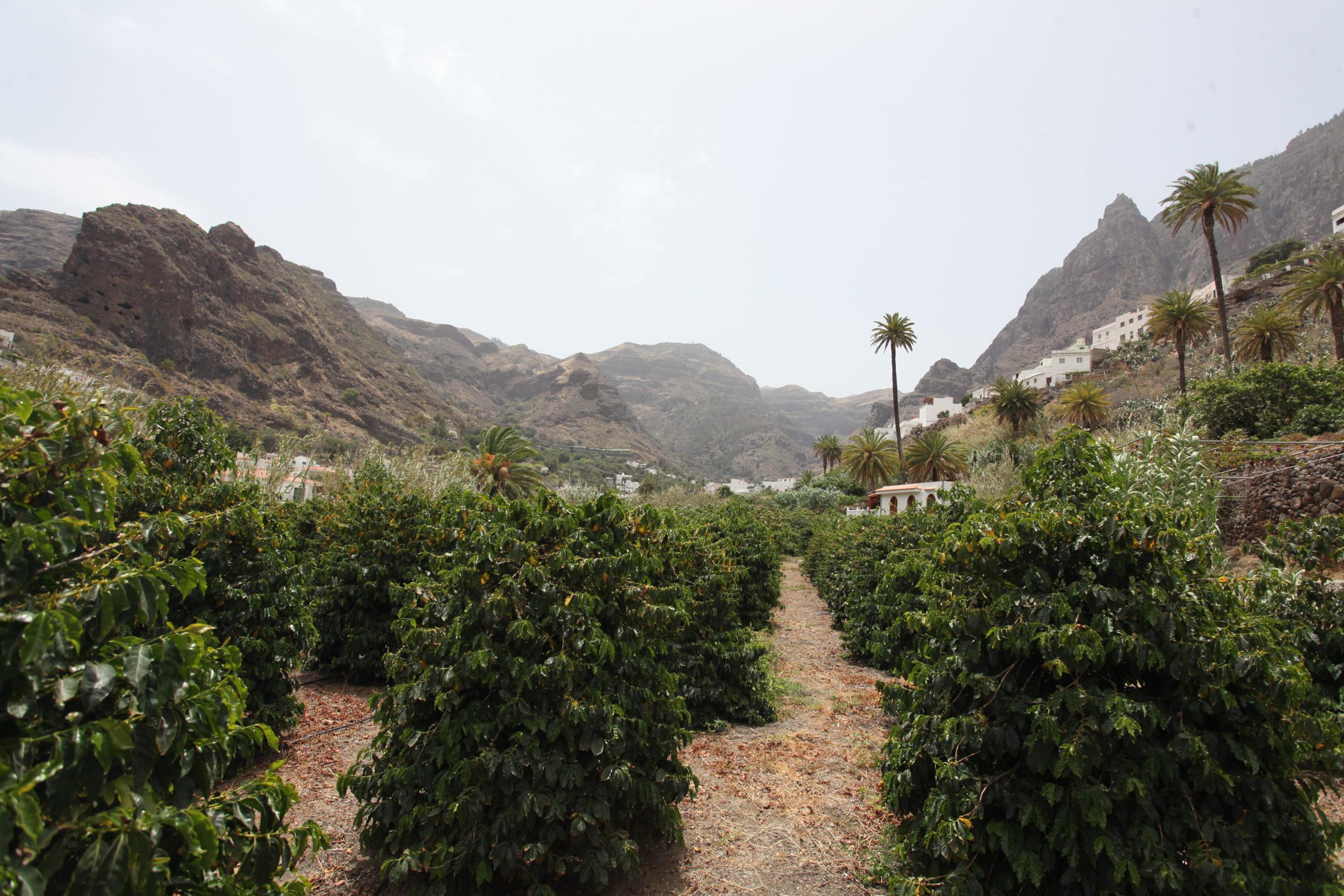 Überblick über die Kaffeeplantage in Agaete